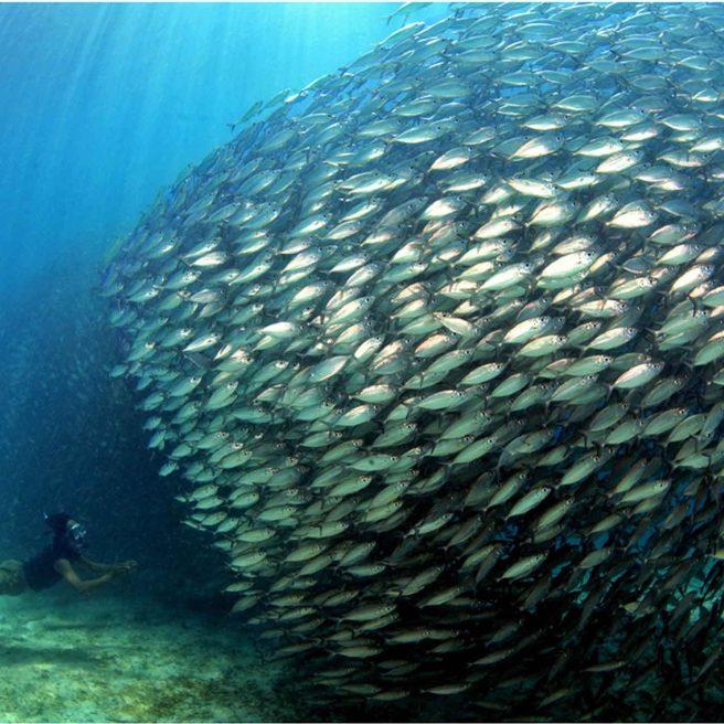 SchoolofFish